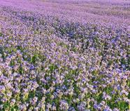 Медосносные травы