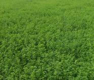 Многолетние травы
